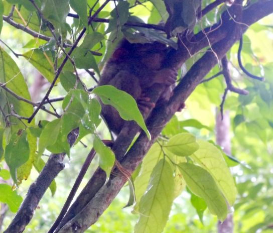 A very sleepy Tarsier