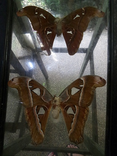 Atlas moth or the Mariposa, the largest moth in the world
