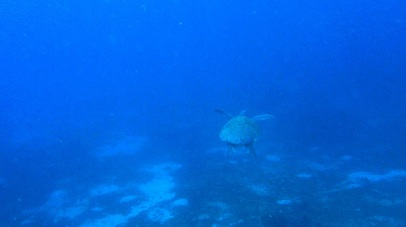 Sea turtle in Bohol